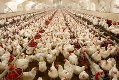 بیمه تکمیلی مرغ ها در استان !