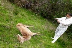 دلایل بروز تلفات مرال های پارک جنگلی سیاه داران اعلام شد
