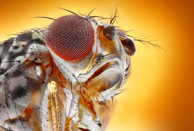 شواهدی از درد مزمن در حشرات برای درمان دردهای انسان