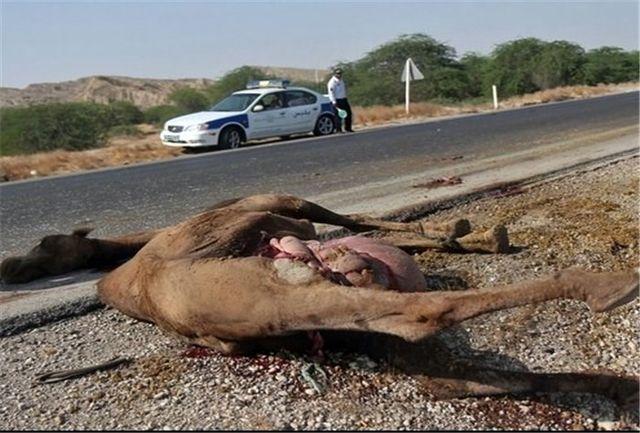 دو کشته و مجروح بر اثر برخورد با شتر در محور بمپور-دلگان