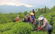 رشد ۱۰ درصدی تولید چای