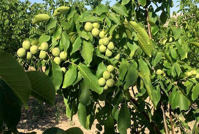 تولید ۲۴ هزار تن بادام در چهارمحال و بختیاری/ برداشت گردو هم با افزایش ۹۰ درصدی همراه بود