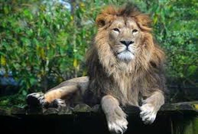 خورده شدن یک راهنمای گردشگری توسط شیر ها!