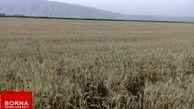 خرید بیش از ۲۰۰هزار تن گندم از گندمکاران لرستانی  تاکنون