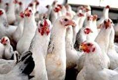 توقیف محموله مرغ قاچاق در سرخه