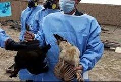 تأیید ششمین کانون بیماری آنفلوآنزای فوق حاد پرندگان در کرمانشاه