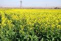 بیش از 700 تُن کلزا از مزارع میاندوآب برداشت شد
