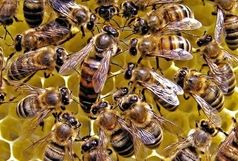 زنبورستانهای استان کرمان، عاری از هر بیماری