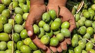 پیش بینی تولید ۱۱۰ هزار تن دانه زیتون در سال جاری