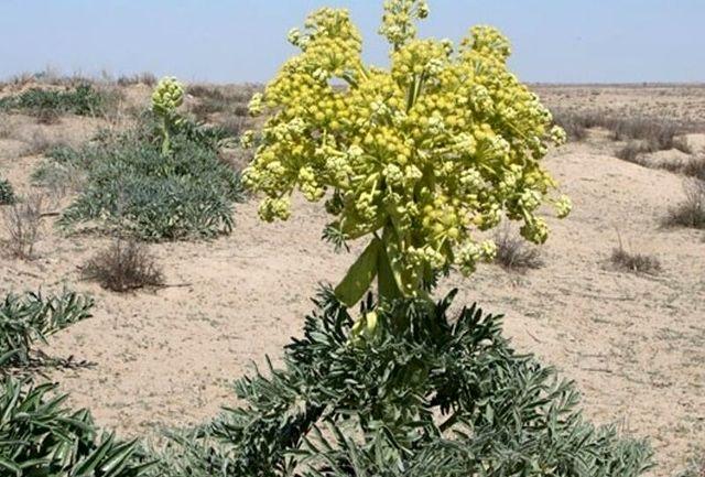 کشف ۷۰۰ کیلوگرم گیاه دارویی کمیاب در یاسوج