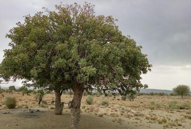 دستگیری عوامل قطع غیرمجاز درختان جنگلی در رفسنجان