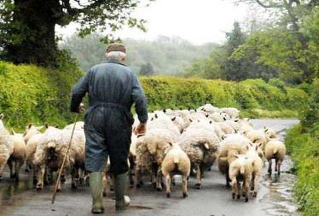 نجات چوپان با 281 رأس گوسفند از چنگ سارقان
