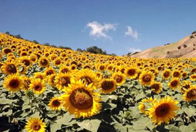 برداشت آفتابگردان آجیلی در شهرستان بوئین زهرا آغاز شد