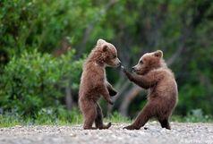 خرس گرفتار در تله سیمی آزاد شد