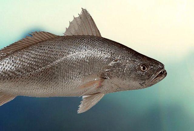 زنان باردار این ماهی را اصلا مصرف نکنند!