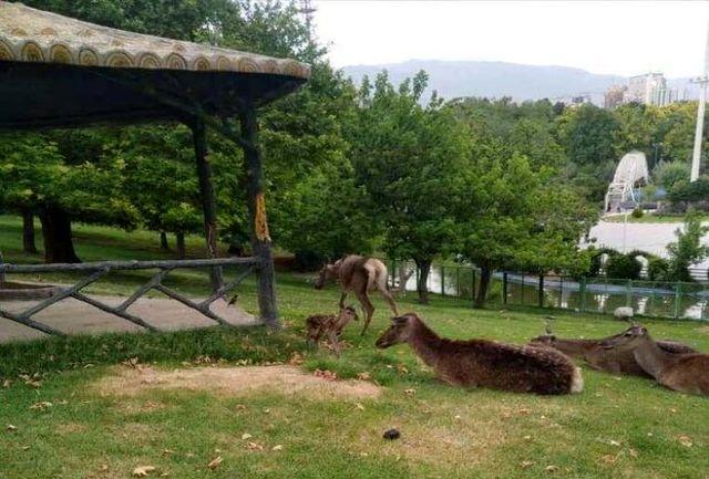 تولد گوزنهای قرمز خزری در حیات وحش بوستان ملت 