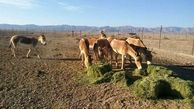 زادآوری ۷ راس گورخر در معرض انقراض ایرانی