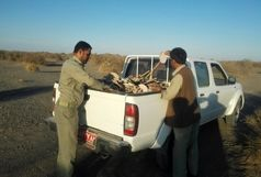 جمع آوری بیش از هزار تله زنده گیری هوبره در ایرانشهر
