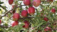 سطح یک هزار و  ۸۵۰ هکتاری باغات سیب در بروجرد