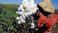 رشد ۲۰ درصدی تولید پنبه در یک سال اخیر