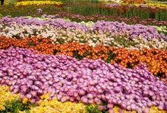 بزرگترین نمایشگاه گل داوودی در محلات افتتاح شد