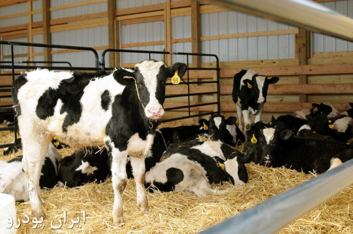 افزایش ۱۲ درصدی تعداد گاو و گوساله دامداریها