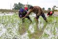 کشت برنج، به جز در شهرهای شمال کشور ممنوع شد