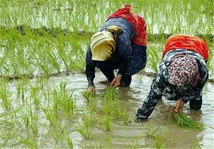 ممنوعیت برداشت برنج از مزارع آلوده به آب فاضلاب
