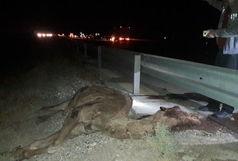 برخورد شتر با خودرو 9 مجروح برجای گذاشت