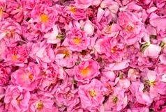 استخراج ۱۲۰ فرآورده دارویی و بهداشتی از گیاه گل محمدی