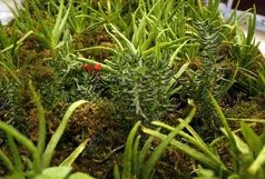 کشت گیاهان دارویی در سطح ۲۵۰ هکتار از اراضی کشاورزی آذربایجانغربی