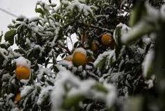 خسارت سرما به مزارع کشاورزی دزفول