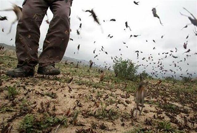 هر دسته ملخ حدود یک میلیون وعده غذایی را میبلعد/ به هجوم ملخها به عنوان فرصت بنگرید