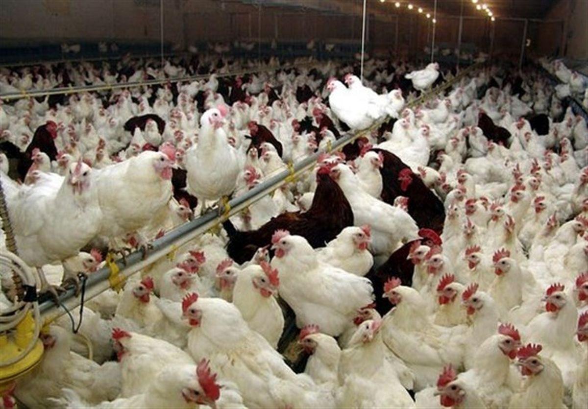 خروج مرغ زنده از مریوان ممنوع شد