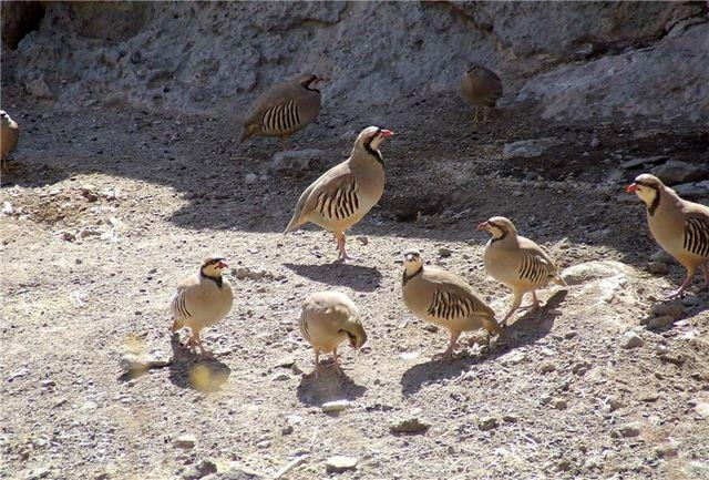 کشف و ضبط 374 قطعه کبک در شهرستان پیرانشهر