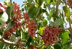 سالانه چهار هزار تن پسته در بوئین زهرا تولید می شود